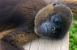 Woolly Monkey Closeup View. Closeup view of a woolly monkey relaxing near Iquitos, Peru Royalty Free Stock Photography