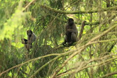 Woolly monkey Royalty Free Stock Images