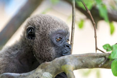 Woolly Monkey Face. Closeup view of the face of a woolly monkey in the Amazon near Iquitos, Peru Royalty Free Stock Photography