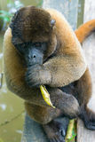 Woolly Monkey with a Leaf. Woolly monkey holding a leaf near Iquitos, Peru Royalty Free Stock Photo