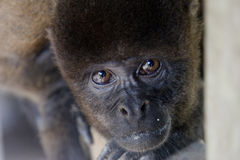 Woolly monkey peering. Portrait of a friendly Woolly monkey from the Amazon rainforest Royalty Free Stock Photo