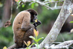 Woolly Monkey. A Woolly Monkey in the Peruvian Rain Forest eating a banana. The woolly monkeys are the genus Lagothrix and have prehensile tails Royalty Free Stock Images