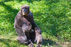 Woolly Monkey portrait. Africa in daytime Royalty Free Stock Images
