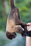 Woolly monkey reaching for tourist bracelet. A captive woolly monkey, Lagothrix lagotricha, in Ecuador attempts to remove a bracelet from a tourist Stock Images