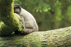 Woolly monkey Stock Images