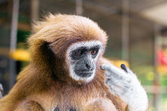 Woolly monkey stock image
