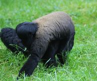 Woolly monkey in tree. Close up of woolly monkey eating in the grass Royalty Free Stock Photography