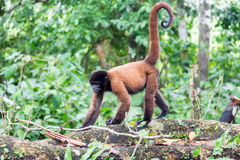 Woolly Monkey Walking. Woolly monkey in the Amazon rain forest near Iquitos, Peru Stock Photos