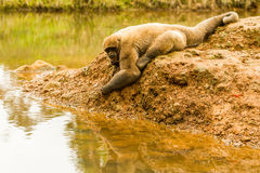 Woolly Monkey In The Wild Stock Photography
