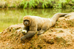 Woolly Monkey In The Wild Stock Photos