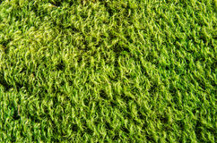 Woolly Moss Background. Bright green moss grows on a rock in a mountain forest royalty free stock photo
