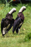 Woolly-Neck Stork Birds Double Stock Photos