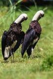 Woolly-Neck Stork Birds Double stock photos