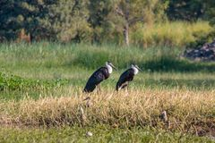 Woolly Neck Stork Couple stock photo