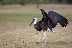 Woolly neck stork Royalty Free Stock Image