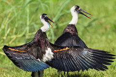 Woolly-Neck Storks Wings Open Royalty Free Stock Photos