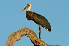 Woolly-necked stork. (Ciconia episcopus) perched on a tree, Kruger National Park, South Africa Royalty Free Stock Images