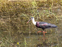 Woolly necked stork Royalty Free Stock Photos