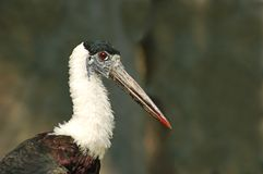 Woolly necked stork Stock Photos
