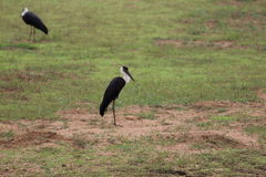 Woolly Necked Stork Stock Photo