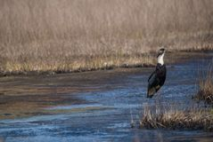 Woolly-necked stork Ciconia episcopus. A wolly necked stork bird taking off from a grey wetland habitat Stock Photos