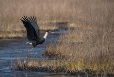Woolly-necked stork Ciconia episcopus. A wolly necked stork bird taking off from a grey wetland habitat Royalty Free Stock Images