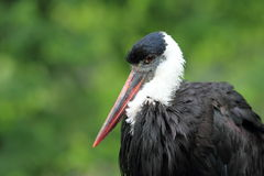 Woolly-necked stork Stock Image