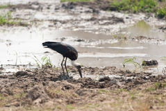 Woolly-necked Stork Royalty Free Stock Images
