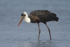 Woolly-necked Stork royalty free stock photography