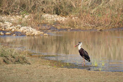 Woolly-necked stork in Nepal, Bardia national park Royalty Free Stock Photo