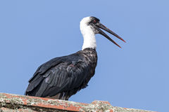 Woolly necked stork perched on top of tiled roof against blue sky Royalty Free Stock Image