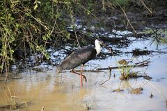 Woolly-necked Stork. In the river Stock Images