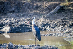 Woolly-necked stork standing next to the water. Royalty Free Stock Image