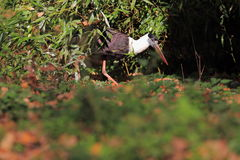 Woolly-necked stork Royalty Free Stock Photos