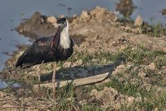 Woolly-Necked Stork or white-necked stork Ciconia episcopus. royalty free stock photos