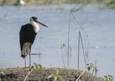 Woolly Necked Stork. /whitenecked stork Ciconia episcopus is Wetland Birds Placed in Vulnerable VU Category of IUCN Royalty Free Stock Photography