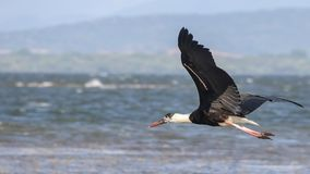 woolly-necked stork or whitenecked stork , Ciconia episcopus stock image