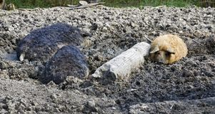 Woolly pigs. Of the breed Mangalitza in a muddy pit Stock Image