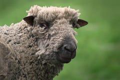 Woolly sheep Royalty Free Stock Photos