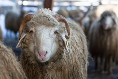 Woolly sheep Royalty Free Stock Photo