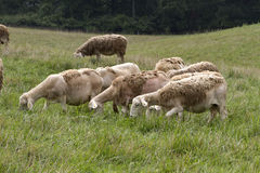 Woolly Sheep Grazing in a Summer Meadow Royalty Free Stock Images