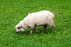 Woolly sheep with a long fleece grazing. In a lush green pasture in a side view royalty free stock image