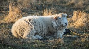 Woolly sheep lying on meadow. A woolly sheep lying on a pasture Stock Photos