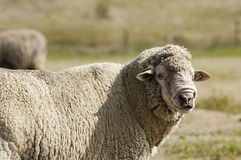 Woolly Sheep in Pasture Stock Photo