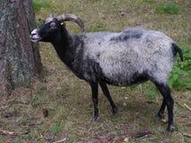 A woolly sheep Stock Photos
