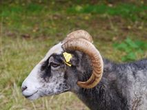 A woolly sheep Stock Image