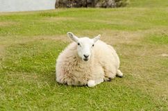 Woolly sheep sitting in Rhossili – Wales, United Kingdom Royalty Free Stock Images