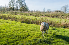 Woolly sheep standing in low afternoon light Royalty Free Stock Image