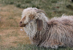 Woolly sheep talking in his sleep Royalty Free Stock Images