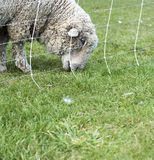 Woolly sheep at work. Woolly sheep munching steadily on grassy field Royalty Free Stock Images